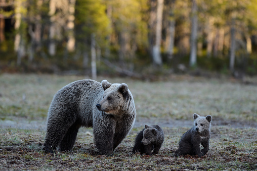 Eurasian Brown Bear「Eurasian brown bear (Ursus arctos arctos), mother bear with cubs, it was late when she came out from the forest, midnight sun, Finland」:スマホ壁紙(8)