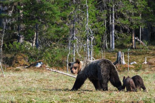 Eurasian Brown Bear「Eurasian brown bear (Ursus arctos arctos), mother bear with cubs, Finland」:スマホ壁紙(7)
