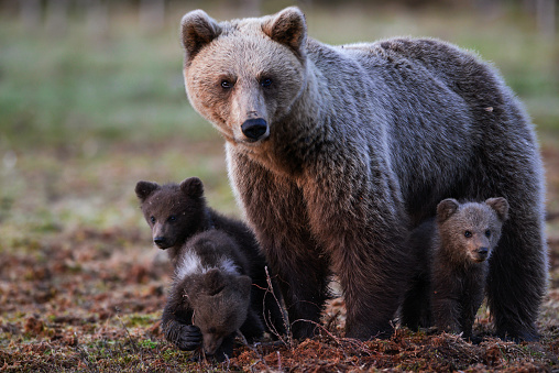 Eurasian Brown Bear「Eurasian brown bear (Ursus arctos arctos), mother bear with cubs, she turned up as late as 02:00 in the morning, Midnight sun time, Finland」:スマホ壁紙(13)
