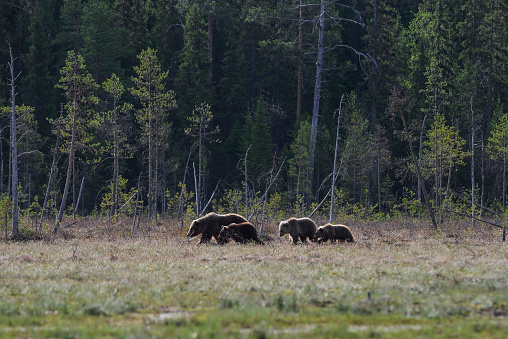 Eurasian Brown Bear「Eurasian brown bear (Ursus arctos arctos), mother with cubs along the edge of a swampy terrain, Finland」:スマホ壁紙(2)