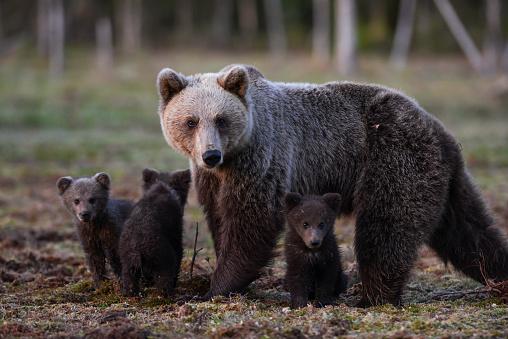 Eurasian Brown Bear「Eurasian brown bear (Ursus arctos arctos), mother bear with cubs turned up as late as 02:00 in the morning, Midnight sun time, Finland」:スマホ壁紙(1)