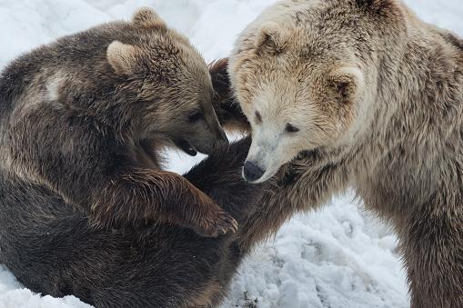 Eurasian Brown Bear「Eurasian brown bear, Norway」:スマホ壁紙(16)