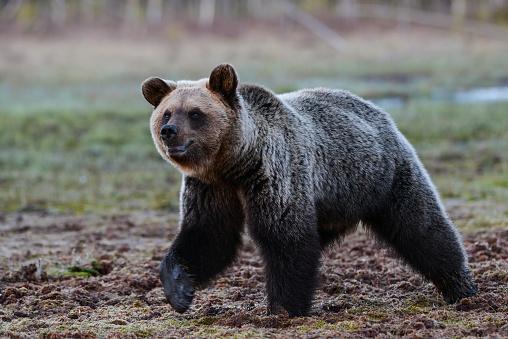 Males「Eurasian brown bear (Ursus arctos arctos), male at a swamp during the time of Midnight sun, 23:30 at night, Finland」:スマホ壁紙(6)