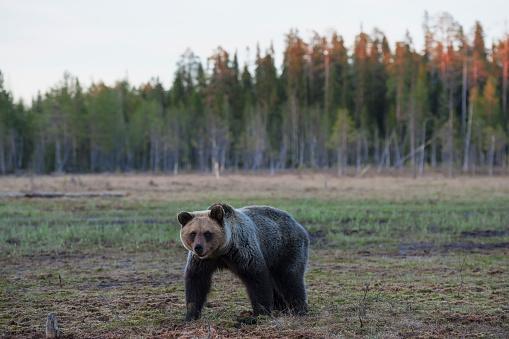 Eurasian Brown Bear「Eurasian brown bear (Ursus arctos arctos), Finland」:スマホ壁紙(5)