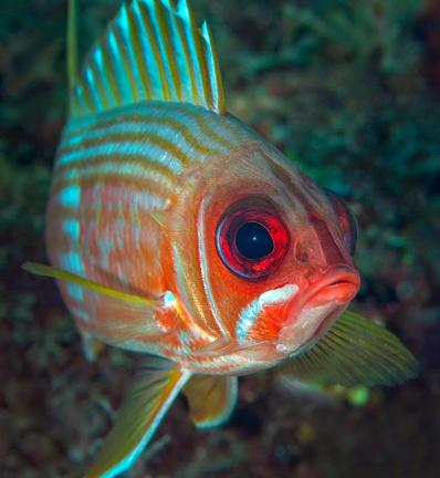 Iris - Eye「A squirrelfish turns and looks close into the camera off the coast of Key Largo, Florida.」:スマホ壁紙(13)