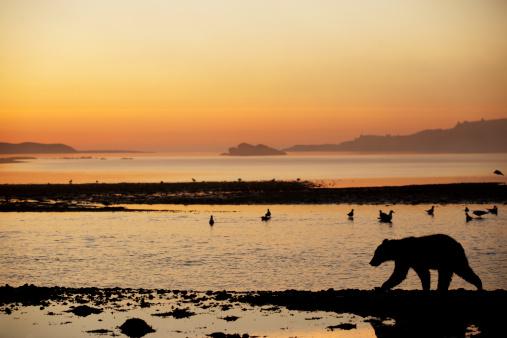 Flock Of Birds「Bear Cub at Dawn, Alaska」:スマホ壁紙(8)
