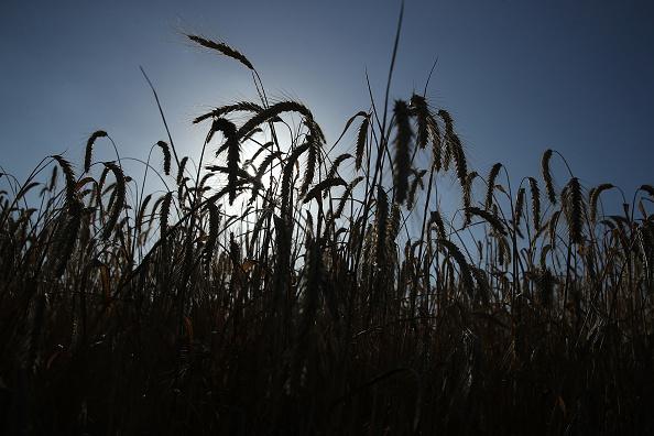 Agricultural Field「Grain Harvests Suffer Under Long, Hot Weather」:写真・画像(18)[壁紙.com]