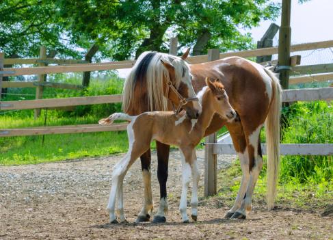 Horse「Pinto Arabian horses - mare and newborn foal」:スマホ壁紙(10)
