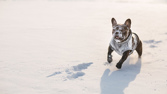 Frost「Funny french bulldog with snow on his face」:スマホ壁紙(1)