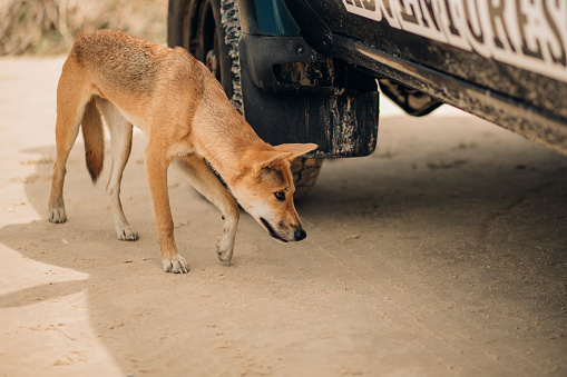 Queensland「Dingo Prowling the Beaches of Fraser Island」:スマホ壁紙(4)
