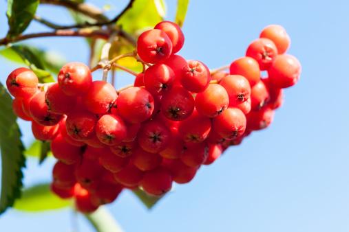 Rowanberry「Mountain ash berries」:スマホ壁紙(16)