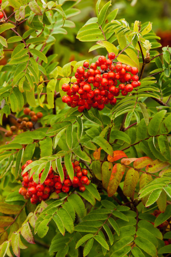 Rowanberry「Mountain Ash」:スマホ壁紙(12)