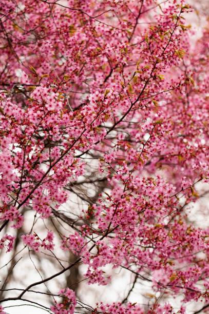 Purple Leaf Plum in Full Bloom:スマホ壁紙(壁紙.com)