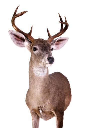 質感「Coues Deer」:スマホ壁紙(16)