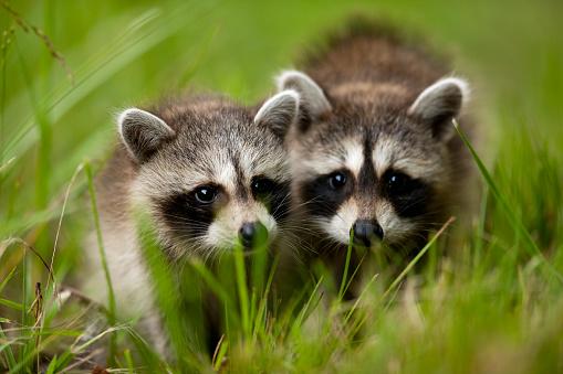 Raccoon「Raccoons at Assateague Island National Seashore in Maryland」:スマホ壁紙(1)
