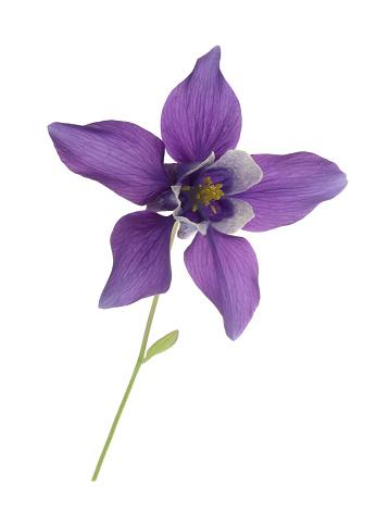 Stamen「Elegant purple aquilegia flower on white.」:スマホ壁紙(6)