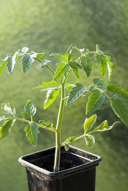 Tomato Plant:スマホ壁紙(壁紙.com)