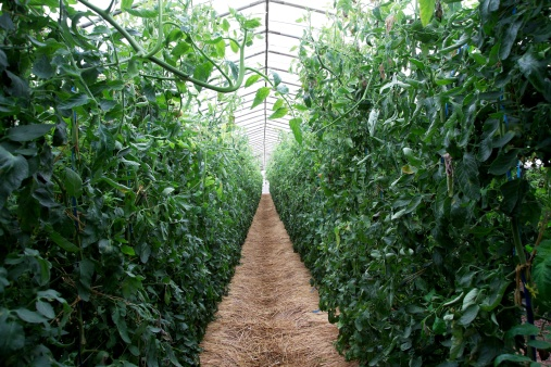 Japan「Tomato plants in greenhouse」:スマホ壁紙(13)