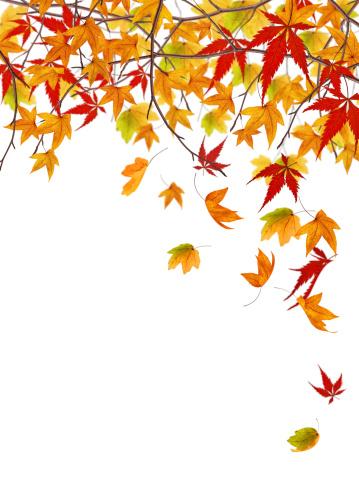 かえでの葉「、木から落ちています。」:スマホ壁紙(15)