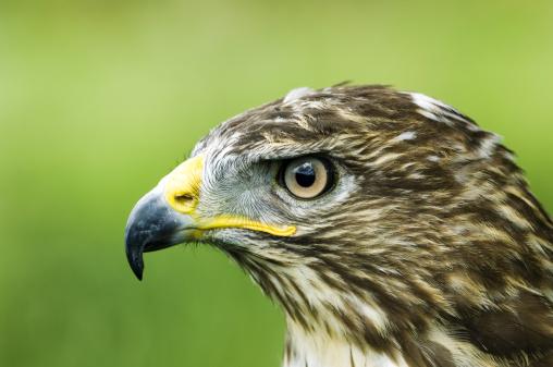 Hawk - Bird「Common Buzzard, Buteo buteo, profile portait, UK」:スマホ壁紙(9)