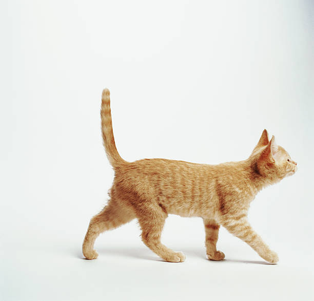 Ginger kitten walking with tail up, side view:スマホ壁紙(壁紙.com)