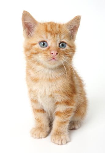 子猫「Ginger Kitten」:スマホ壁紙(7)
