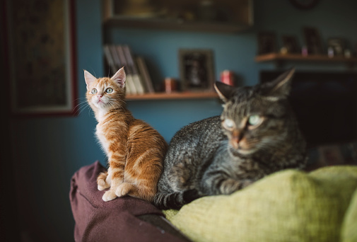 Kitten「Ginger kitten and tabby cat on top of a couch」:スマホ壁紙(2)