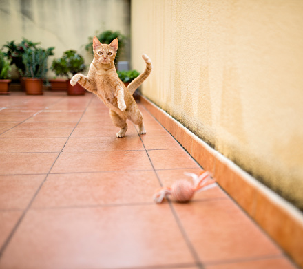 子猫「Ginger kitten playing on terrace with toy」:スマホ壁紙(16)
