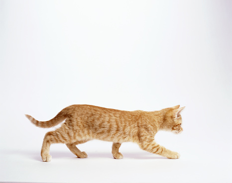 Domestic Animals「Ginger kitten walking, white background, side view」:スマホ壁紙(2)