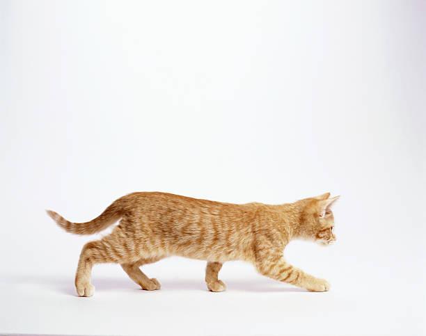 Ginger kitten walking, white background, side view:スマホ壁紙(壁紙.com)