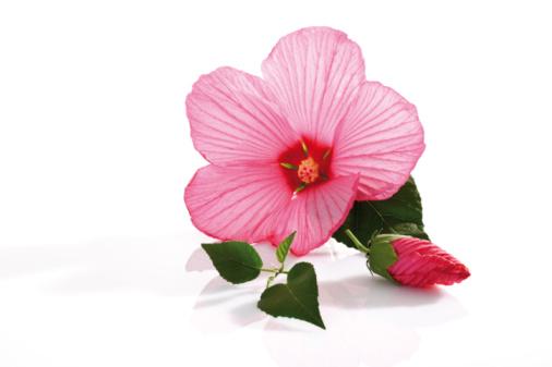 ハイビスカス「Rose mallow (Hibiscus moscheutos)」:スマホ壁紙(14)