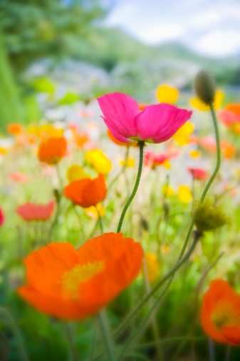 花畑「Germany, Iceland poppy (Papaver nudicaule), close-up」:スマホ壁紙(7)