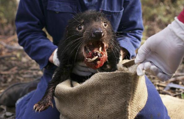 Illness「Tasmanian Devil Facing Disease Crisis」:写真・画像(18)[壁紙.com]