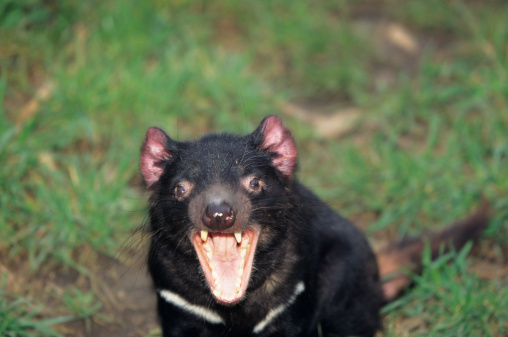 Furious「Tasmanian devil (Sarcophilus harrisii) snarling, close-up, Australia」:スマホ壁紙(9)