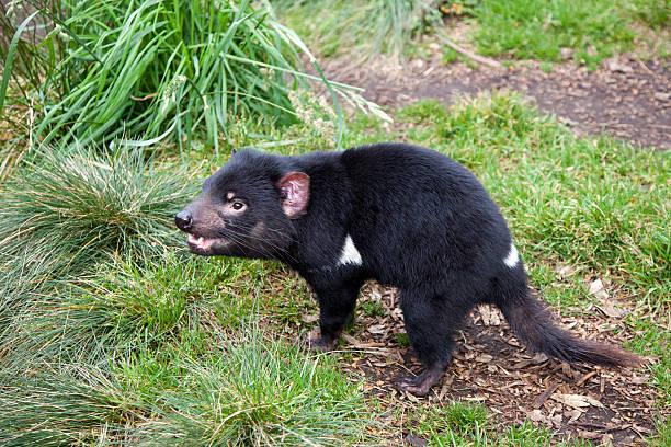 Tasmanian Devil:スマホ壁紙(壁紙.com)