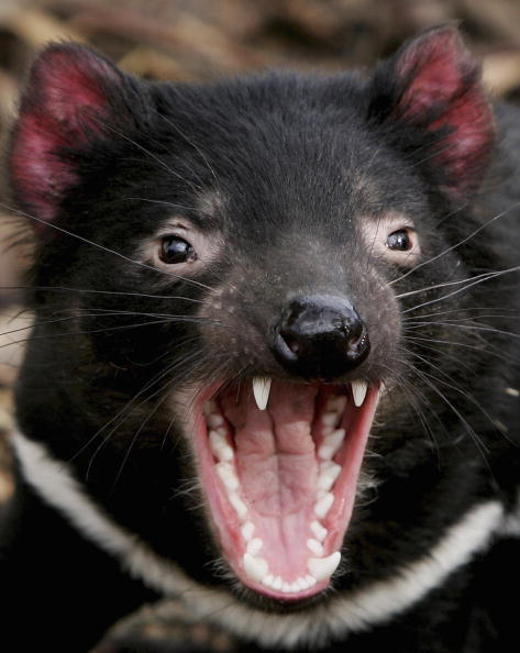Insurance「Tasmanian Devil Facing Disease Crisis」:写真・画像(3)[壁紙.com]