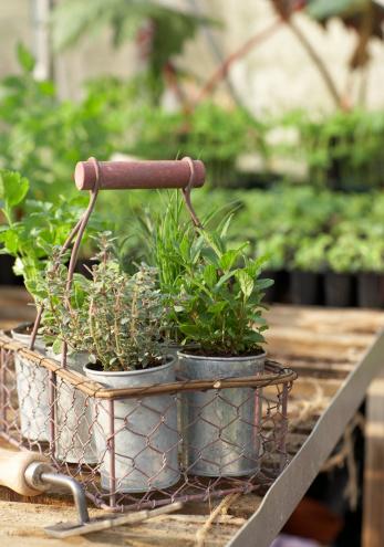 Thyme「Herb pots in metal basket in greenhouse」:スマホ壁紙(4)