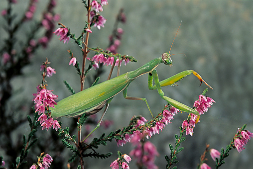 Praying「Mantis religiosa (praying mantis)」:スマホ壁紙(9)