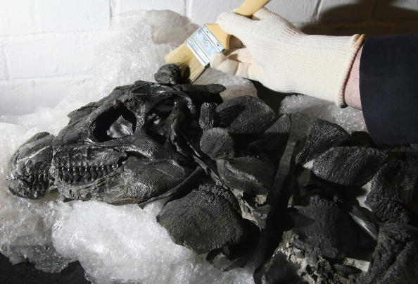 Finding「The Most Complete Dinosaur Skeleton Found In Britain Goes On Display」:写真・画像(19)[壁紙.com]