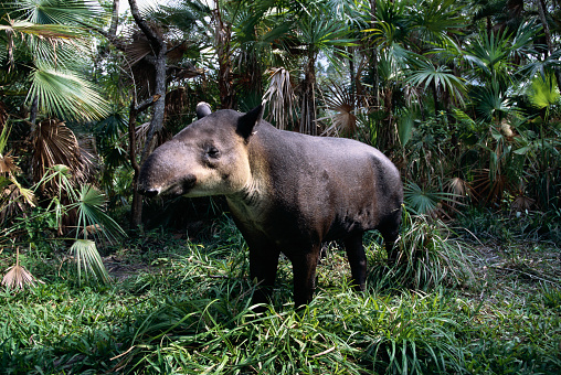 Central America「Central American Tapir」:スマホ壁紙(4)