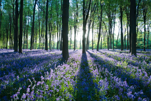 Bluebell Wood「Dawn forest light over a carpet of bluebells at Micheldever Forest, Hampshire, England」:スマホ壁紙(12)