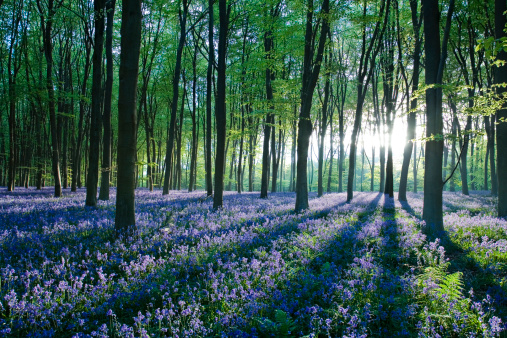 Bluebell Wood「Dawn forest light over a carpet of bluebells at Micheldever Forest, Hampshire, England」:スマホ壁紙(13)