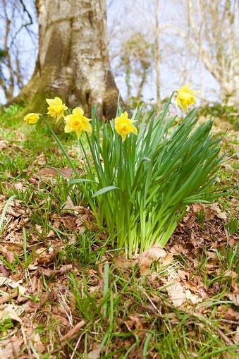 水仙「Wales, Anglesey, Llangefni  - The Dingle nature reserve, springtime」:スマホ壁紙(0)