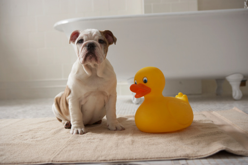 Part of a Series「Dog on mat with plastic duck」:スマホ壁紙(18)