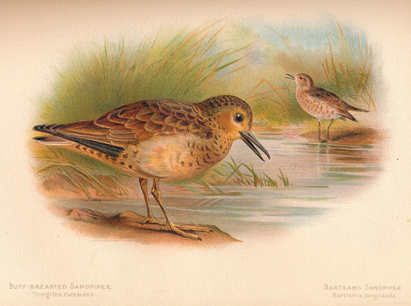 Beak「'Buff-Breasted Sandpiper (Tringites rufescns), Bartram's Sandpiper (Bartramia longicauda)', 1900, (1 Artist: Charles Whymper」:写真・画像(17)[壁紙.com]