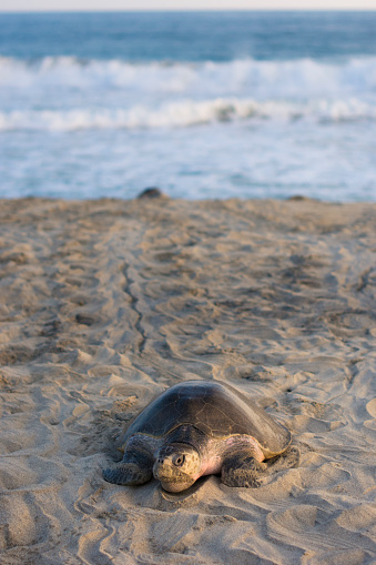 Crawling「Olive Ridley Sea Turtle makes its way from the ocean onto the beach in Oaxaca, Mexico.」:スマホ壁紙(7)