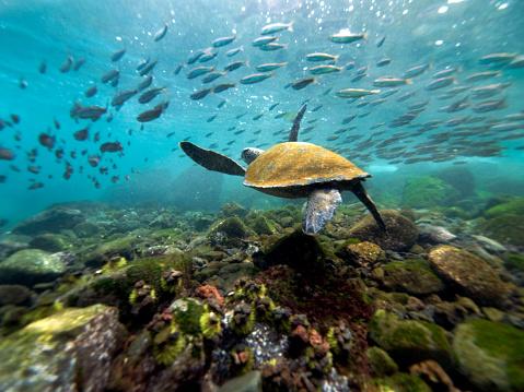 Green Turtle「Galapagos Turtle」:スマホ壁紙(19)
