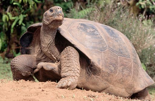 1980-1989「Galapagos Tortoise」:スマホ壁紙(15)