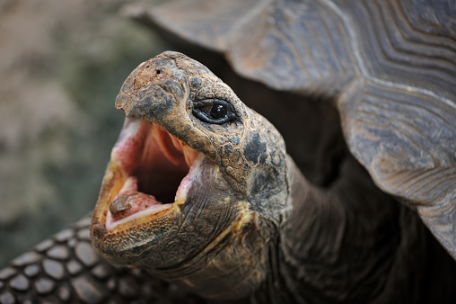 Endangered Species「galapagos tortoise」:スマホ壁紙(1)