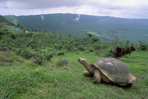 1980-1989「Galapagos Tortoise on Isabela Island」:スマホ壁紙(17)